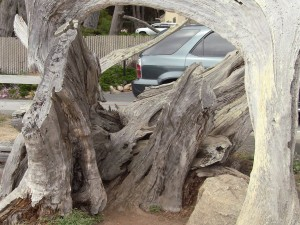 The Ghost Tree in the 17 Mile Drive